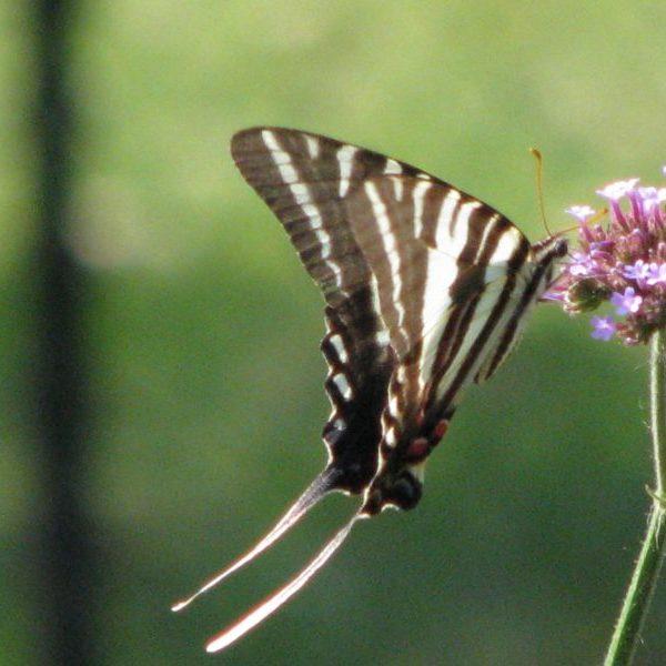 Zeba Swallowtail